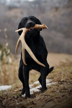 Mind Blowing Facts About Labrador Retrievers And Ideas. Amazing Facts About Labrador Retrievers And Ideas. Labrador Retrievers, Black Labrador Retriever, Labrador Puppies, Retriever Puppies, Hunting Dog Names, Hunting Girls, Canis Lupus, Love My Dog, Dog Shedding