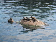 turtles family
