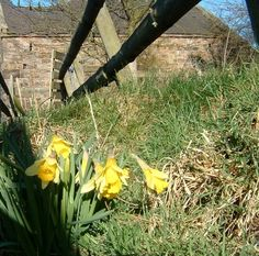 True wild daffodils grown from see by A