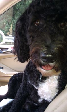 Portuguese water dog. I always wanted one and promised myself that if I did get one, I would name him Reggie or Stanley or Sebastian. Don't know why, just like the names one dogs I guess.