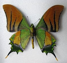 (Teinopalpus imperialis) ~ A Rare Species Of Swallowtail Butterfly!