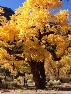 Favorite Cottonwood tree in the Jemez Mountains, NM  dressed in Fall finery! 2014
