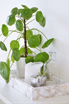 1 Plant - 3 Stylings, urban jungle bloggers: Pilea