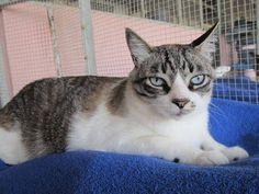 Helfende Hände e.V. - Katze Bruno (Siam-Mix 5-6 Jahre) sucht ein Zuhause…