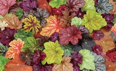 1. Heucherella 'Alabama Sunrise'  2.  'Electric  Lime   3.  'Mint Julep'   4.   'Berry Smoothie'  5.  'Georgia Peach'  6.  'Purple Petticoats'  7.  'Sashay'  8.  'Southern Comfort'  9.  'Ginger Ale'   10.  'Cinnabar Silver'  11.  'Shanghai'    12.  'Midnight Bayou'   13.  'Obsidian'  14. Heucherella 'Sweet Tea'  15.  'Midnight  Rose' Select   16. Heucherella 'Tapestry'   17.  'Sugar Plum' 18.  'Paris'