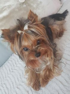More About The Feisty Yorkshire Terrier Puppy Size Source by anxietyhi The post Yorkshire Terrier Care appeared first on McGregor Dogs. Yorkies, Yorkie Puppy, Pomeranian Dogs, Teacup Pomeranian, Chien Yorkshire Terrier, Yorkshire Terrier Haircut, Cute Puppies, Cute Dogs, Dogs And Puppies