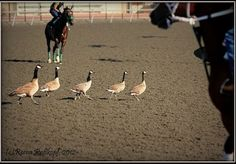 """Congratulations to Reena Rosskopf on winning the Fan Photo of the Week contest! From Reena: """"Geese Crossing"""" at Golden Gate Fields on Closing Day of the Spring/Summer meet."""" Click through for more horse racing Notebook goodness!"""