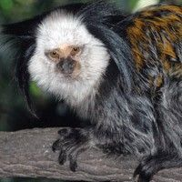 Geffroy's Marmoset at Los Angeles Zoo Los Angeles, CA #Kids #Events