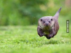 Running towards the camera.