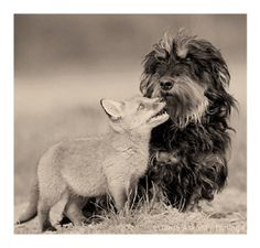 A wolf and a dog making friends... See you can become best friends with your enemy.