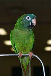 Blue-crowned Parakeet - Wikipedia, the free encyclopedia
