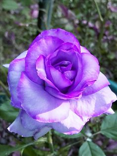 Beautiful Rose Flowers, Beautiful Flowers, Special Flowers, All Things Purple, Morning Greeting, Purple Aesthetic, Flower Backgrounds, Purple Roses, Natural
