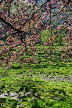 Cherry blossoms| Central Park
