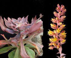 Echeveria rosea