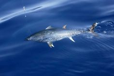 Atlantic Bluefin Tuna Learn how to catch any kind of fish with great tips including lures and bait at howtocatchfishnetwork.com
