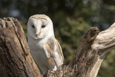 Barn Owl by Colin Langford on 500px