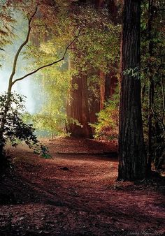 Redwoods (California) by Nikolay Chigirev
