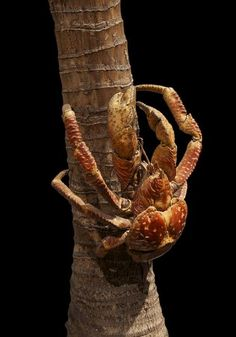 Here's another coconut crab, looking a little spider-like, on its way up to grab a tasty coconut snack. On some islands, these formidable creatures have spiritual significance. For example, Mariana Islanders believe that the crabs may be the returned spirits of deceased humans.