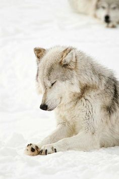 "@Kam11Bbc: @nkDarkDrgmailc1 @Gentle_58 @NapeuMaikan @demonangel81 @EB0NYANGEL "" ""I'm a pretty Wolf""  #IAmEssential"