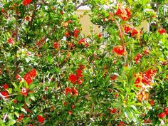 Punica-granatum_pomegranate_xeriscape_design_austin_texas_drought_tolerant.jpg (800×600)