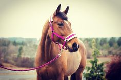 I think even people that don't love pink can't deny this headcollar is kinda nice