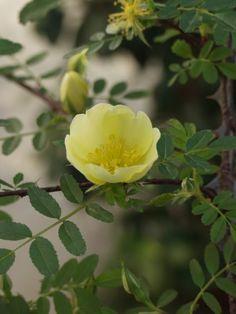 Rosa ecae primula