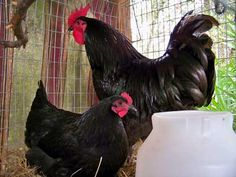 My chicken of choice, the Black Australorp - a gentle, broody, good looking girl who knows how to get on with it. - Great layer! 250-300 medium brown eggs per year (expect early laying to be small and increase with age). - Good brooder and mother - Early maturing (begins laying between 5 to 6 months) and very cold hardy. - Quiet, gentle, tolerates confinement well - excellent breed for chicken tractor. Click the pick for a handy Australian chicken breeds chart.