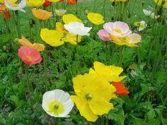 Le #pavot d'Islande : des #fleurs de toutes les #couleurs