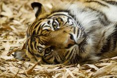 Stop Using Captive Tigers for Selfies – ForceChange