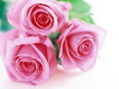 wallpapernarium: Tres bonitas rosas rosadas