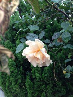 Rose garden smoking in the rain 2013/10/29