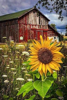 Beautiful sunflower, old red barn
