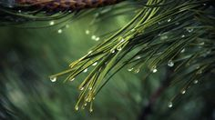 Picalls.com | Pines tree with rain drops by Adku.