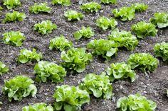 Fall Vegetable Garden lettuce