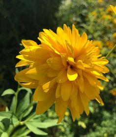 Wunderschöne Farbe! Dahlien in gelb!