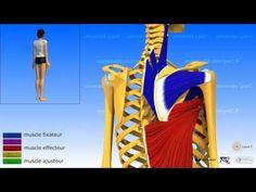L'épaule: l'adduction, les muscles adducteurs - YouTube