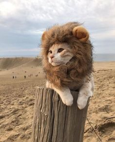 Cat with Lion head piece