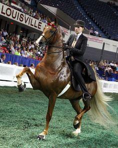 Callaway's No More Mr. Nice Guy American Saddlebred