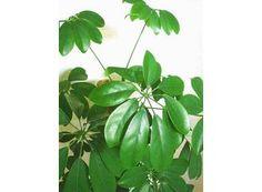 Rostlina | Šeflera, Schefflera actinophylla