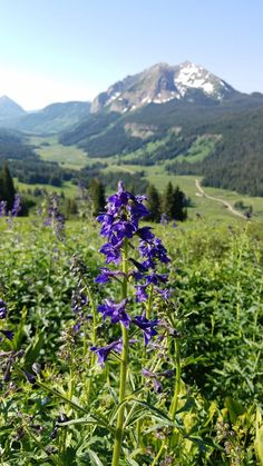 Mountain Lupine With Gothic Mountain, Co In Background [oc][4032x2268]