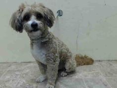 ~~ITTY BITTY 10 YR OLD SENIOR TO BE DESTROYED - 07/28/14~~lw~ Brooklyn Center  My name is BEBE. My Animal ID # is A1007528. I am a male tan and white poodle min mix. The shelter thinks I am about 10 YEARS old.  I came in the shelter as a STRAY on 07/22/2014 from NY 11370, owner surrender reason stated was STRAY.
