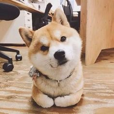 Aww this akita is wondering what you're up to. Want to play?