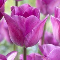 Tulip Magic Lavender ®