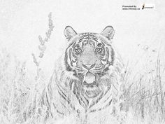 dangersome tiger image!!! For any query email: sales@infoway.us or visit: http://www.infoway.us/