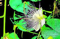 'Kapernblüte-Variation7' von lisa-glueck bei artflakes.com als Poster oder Kunstdruck $18.03