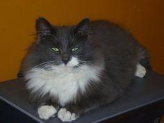 Chat femelle Angora Turc perdue à Mont sur Marchienne