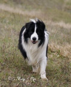 Our prince Harry (CH.Pukawidgee Warregai), border collie black and white from Australia