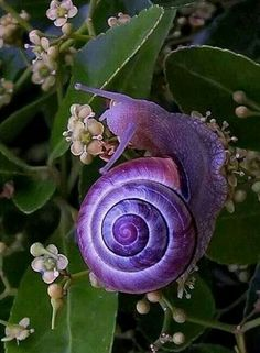 Beautiful Purple Snail – When nature and creatures create a colorful display. I never thought I'd think a snail was pretty! Beautiful Bugs, Amazing Nature, Beautiful World, Beautiful Things, Amazing Things, Simply Beautiful, All Gods Creatures, Sea Creatures, Beautiful Creatures