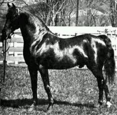 Photo archive of Morgan horses. Barrel Racing Saddles, Barrel Racing Horses, Horse Halters, Horse Saddles, Pretty Horses, Beautiful Horses, Pony Breeds, Horse Breeds, Breyer Horses
