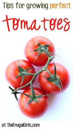 Tips for Growing Perfect Tomatoes at TheFrugalGirls.com